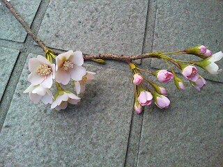 201001-sakura.jpg