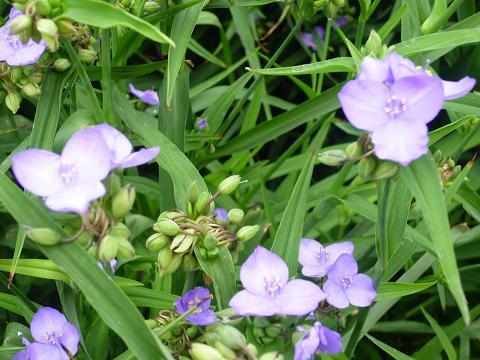 紫露草群生2