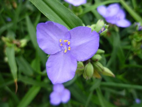 紫露草群生