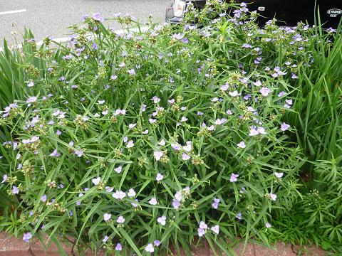 紫露草群生3