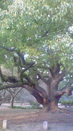 御所の大きな木