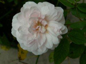 バラ~ブラッシュ・ノワゼット