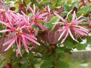 今年3回目の開花~トキワマンサクの花