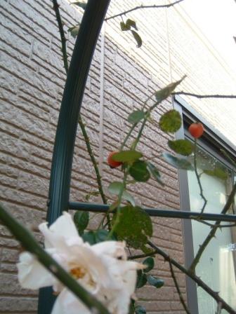 rose-hip10-4.jpg