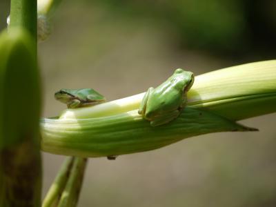 ウバユリ と カエル