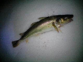 釣れたよ。
