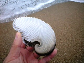 アオイガイの殻