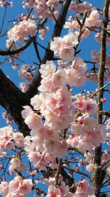 今年の早咲き桜2