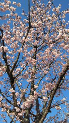 今年の早咲き桜1