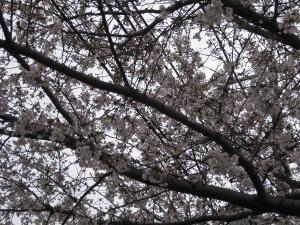 こんな場所でも夜桜見物で酒盛りしている人たちがいる!