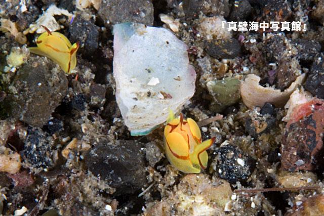 85-2★シフォプテロン・クア