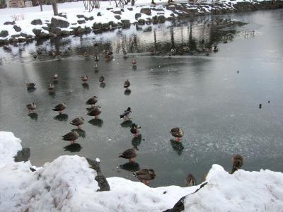 池の鴨くんたち