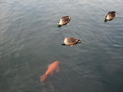 池の鯉と鴨くん