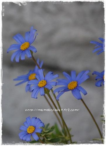 bluedaisy_2.jpg