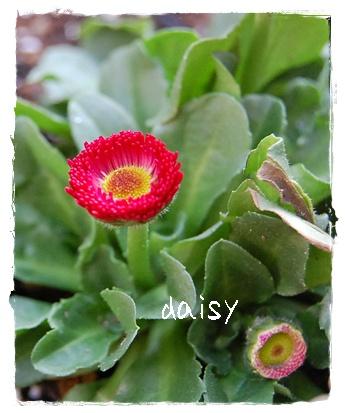 daisy_2.jpg