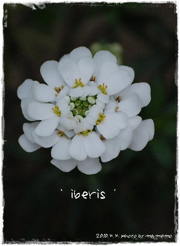 iberis_3.jpg