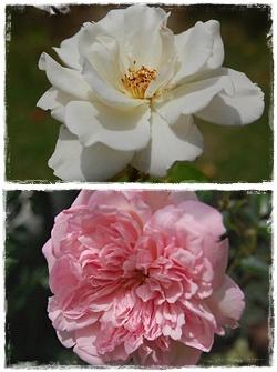 roses_5.jpg