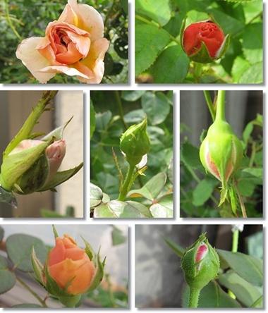 roses_6.jpg