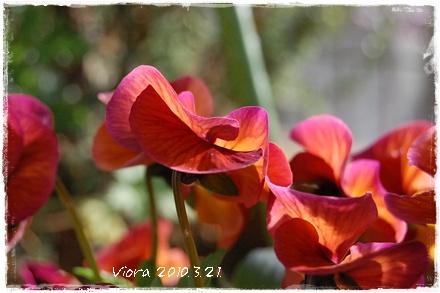 viora45.jpg