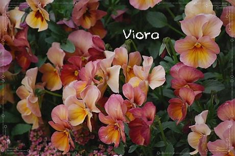 viora54.jpg