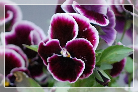 viora56.jpg