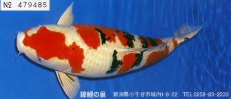 ojiya-nishikikoi6.jpg