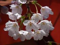 BL120404桜1RIMG9926