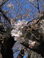 BL120404桜2RIMG9946
