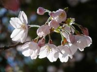 BL120404桜3RIMG9911
