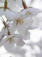 BL120410昼休み桜2R9290562
