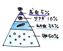 ノミピラミッド