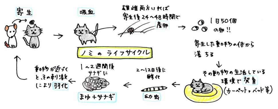 ノミのライフサイクル+