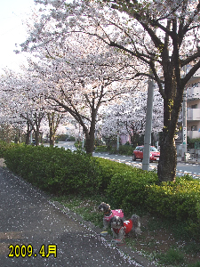 2009年の桜 のコピー