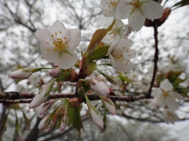 5月7日 桜が咲きました