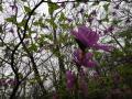20110512平成の森ツツジ