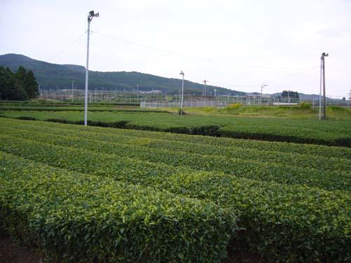 枕崎の茶畑
