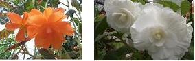 ベゴニア オレンジと白