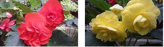 ベゴニア赤と黄
