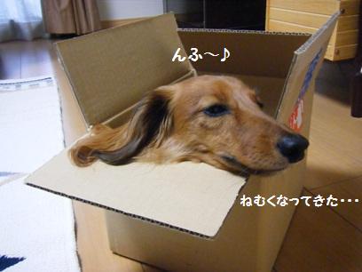 桃が本気で寝るために箱の中に顔を入れようとしてたが、箱が小さくて入らなかった>m<