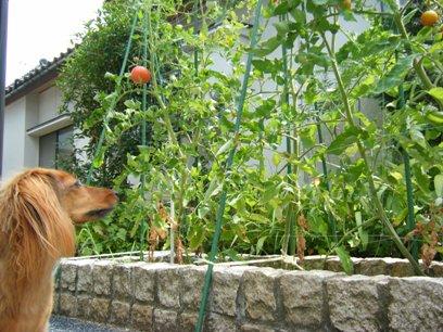 去年はピーマンも植えてたが、今年はトマトオンリー。
