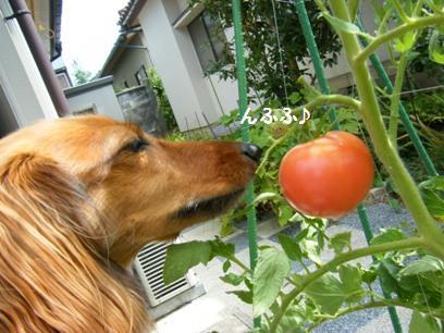 トマトって結構、青臭い。触ると手にニオイがつくくらい。