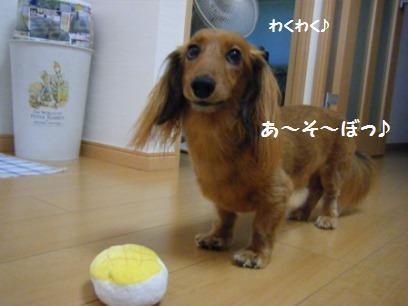 先代犬もよくボールを持ってきてくれたが、見せてくれるだけでコッチに渡してはくれなかった・・・。