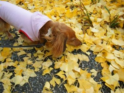 先代犬は落ちてる銀杏食べてたっけ。アレ臭いんだよね。