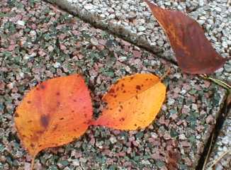 桜の落ち葉1 09.10.1