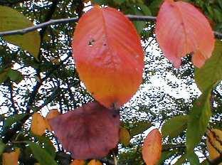 桜の紅葉 09.10.1
