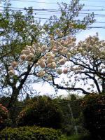 石見銀山のボタン桜