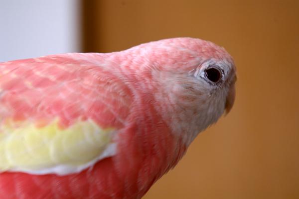 其の者、桃色の羽毛をまとい