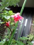 町で見かけた花シリーズhana09293