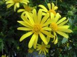 町で見かけた花シリーズhana09305
