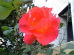 町で見かけた花シリーズhana09344